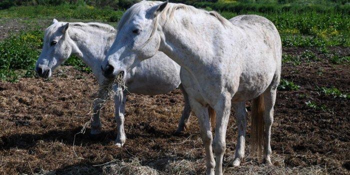 Une première arrestation dans l'affaire des chevaux mutilés